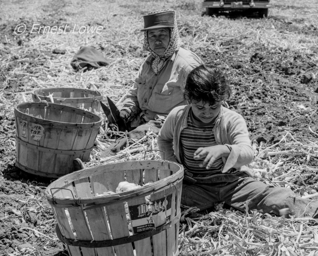Ten year old Chicana girl harvesting garlic with her Grandmother. Salinas Valley. July 1961